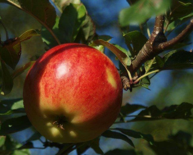 Novo znanje za ekološko pridelavo sadja