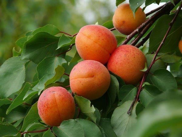Čas je za sezonsko sadje – marelice