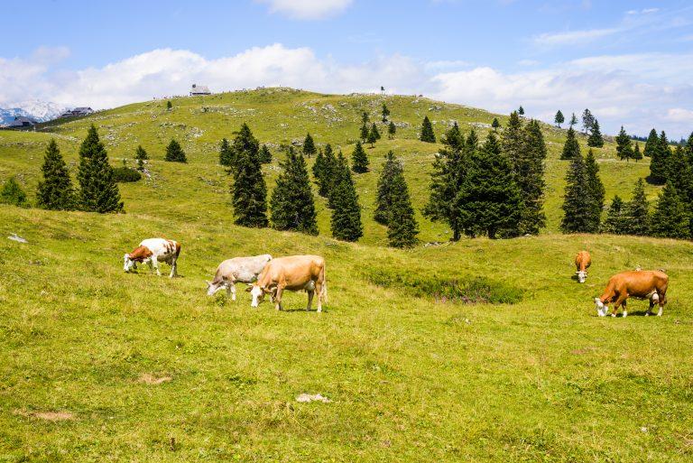 Kdaj je goveje meso zares slovensko